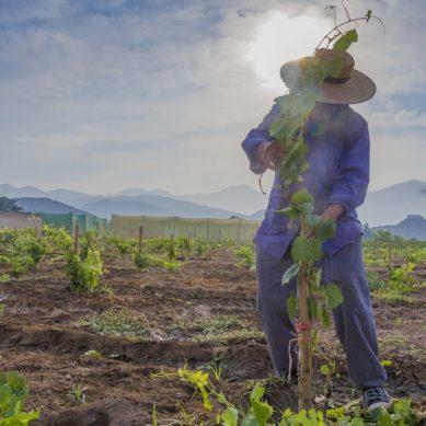 Antamina enseña a hacer vino con uva quebranta a ciudadanos de Huarmey